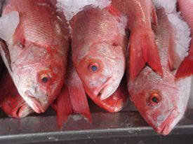 Zapopan_fish_market_red_snapper_up_close